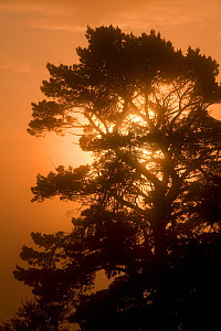 Scots pine tree (Pinus sylvestris) silhouette at sunrise, Rothiemurchus Forest, Cairngorms NP, Highland, Scotland, UK, June - Mark  Hamblin / 2020VISION