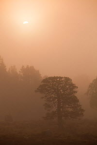 Scots pine tree (Pinus sylvestris) and scatter woodland in mist at sunrise, Rothiemurchus Forest, Cairngorms NP, Highland, Scotland, UK, June - Mark  Hamblin / 2020VISION