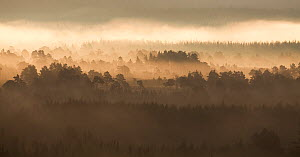 Caledonian pine forest in mist at sunrise, Rothiemurchus Forest, Cairngorms NP, Highland, Scotland, UK, June 2011 - Mark Hamblin / 2020VISION