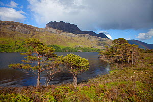 Scots pine trees (Pinus sylvestris) beside Loch Maree with Slioch in the background, Torridon, Ross and Cromarty, NW Scotland, UK, June 2011 - Mark Hamblin / 2020VISION
