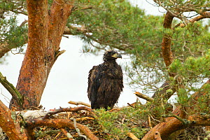 White-tailed sea eagle (Haliaeetus albicilla) 5 week chick in nest in Scots pine tree (Pinus sylvestris), Beinn Eighe NNR, Highlands, NW Scotland, UK, June - Mark Hamblin / 2020VISION