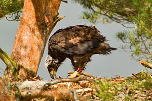 White-tailed sea eagle (Haliaeetus albicilla) 5 week chick feeding on prey in nest in Scots pine tree (Pinus sylvestris), Beinn Eighe NNR, Highlands, NW Scotland, UK, June  -  Mark Hamblin / 2020VISION