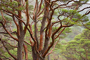 Scots pine trees (Pinus sylvestris) in natural woodland, Beinn Eighe NNR, Highlands, NW Scotland, UK, May - Mark  Hamblin / 2020VISION