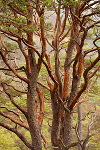 Scots pine tree (Pinus sylvestris) in natural woodland, Beinn Eighe NNR, Highlands, NW Scotland, UK, May - Mark  Hamblin / 2020VISION