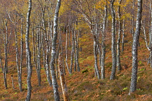 Trunks of Silver birch trees (Betula pendula) in autumn woodland, Rothiemurchus Forest,  Cairngorms NP, Highlands, Scotland, UK, October  -  Peter Cairns / 2020VISION