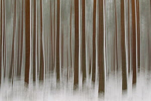 RF- Abstract of winter pine forest, Cairngorms National Park, Highlands, Scotland, UK. March 2011. (This image may be licensed either as rights managed or royalty free.)  -  Peter  Cairns / 2020VISION