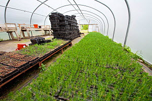 Scots pine tree seedlings (Pinus sylvestris) growing in trays in polytunnel of tree nursery, Beinn Eighe NNR, Highlands, NW Scotland, UK, May - Mark  Hamblin / 2020VISION