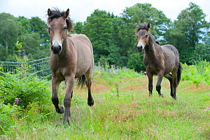 Releasing Exmoor ponies at Street Heath for conservation grazing, Somerset Levels - Paul Harris / 2020VISION