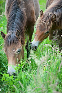 Exmoor pony mare and foal, Exmoor ponies introduced at Street Heath for conservation grazing, Somerset Levels, UK, June 2011 - Paul Harris / 2020VISION
