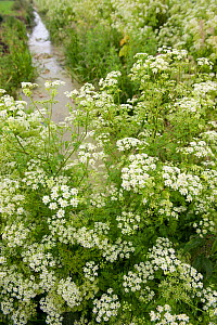 Cow parsley (Anthriscus sylvestris) in flower on  Somerset Levels, Somerset, UK, June - Paul Harris / 2020VISION