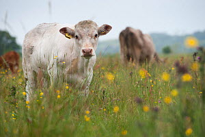 Domestic cow from herd of conservation grazing cattle on Tealham Moor, Somerset Levels, UK, June 2011 - Paul Harris / 2020VISION