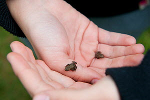 Children from Robert Blake Science College with froglets, learning about environmental issues at Westhay Nature Reserve, Somerset Levels, June 2011, model released - Paul Harris / 2020VISION