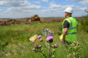 Marbled white butterflies (Melanargia galathea) resting on thistle in front of machinery for Wetland habitat creation for the RSPB by Breheny Civil Engineers at Bowers Marsh RSPB Reserve, RSPB Greater...  -  Terry Whittaker / 2020VISION