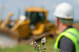 Marbled white butterfly (Melanargia galathea) resting on thistle in front of machinery for Wetland habitat creation for the RSPB by Breheny Civil Engineers at Bowers Marsh RSPB Reserve, RSPB Greater T...  -  Terry Whittaker / 2020VISION