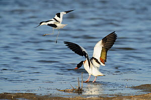 Avocet (Recurvirostra avosetta) trying to drive Shelduck (Tadorna tadorna) pair away from breeding grounds, Oare marshes, RSPB Greater Thames Futurescapes Project, North Kent, UK, June  -  Terry Whittaker / 2020VISION