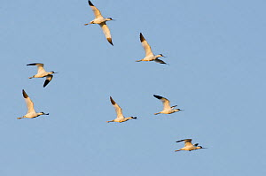 Avocet (Recurvirostra avosetta) flock in flight, Elmley marshes, RSPB Greater Thames Futurescapes Project, Isle of Sheppey, North Kent, UK, October  -  Terry Whittaker / 2020VISION