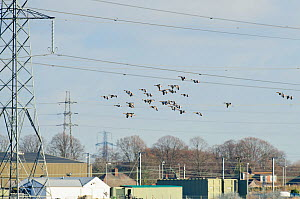 Greylag geese (Anser anser) flying past electricity pylons into Rainham Marsh RSPB Reserve, Thames Futurescapes Project, Essex, UK, January 2011 - Terry Whittaker / 2020VISION