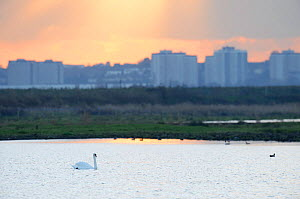 Mute swan (Cygnus olor) on water with outer London buildings in the background, Rainham Marsh RSPB Reserve, Thames Futurescapes Project, Essex, UK, January 2011. Did you know? A female Swan is known a... - Terry Whittaker / 2020VISION