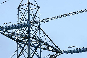 Flock of Common Starlings (Sturnus vulgaris) roosting on power pylon, Rainham Marsh RSPB Reserve, Thames Futurescapes Project, Essex, UK, January 2011. Did you know? Mozart had a pet starling which co... - Terry Whittaker / 2020VISION