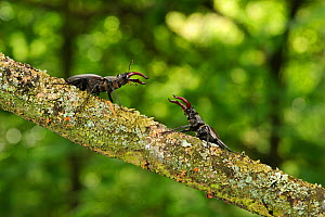 Stag beetle (Lucanus cervus) two males displaying aggressive behaviour on oak tree branch at woodland edge, Suffolk, UK, Controlled conditions, July  -  Terry Whittaker / 2020VISION