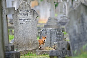 Urban Red fox (Vulpes vulpes) cub amongst graves, West London cemetery, UK, June. 2020VISION Exhibition. 2020VISION Book Plate.Did you know? Red fox cubs are born with dark brown fur and blue eyes, bu... - Terry Whittaker / 2020VISION
