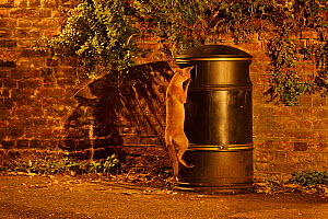 Urban Red fox (Vulpes vulpes) cub scavenging from litter bin, West London, UK, June (This image may be licensed either as rights managed or royalty free.)  -  Terry Whittaker / 2020VISION