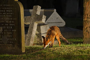 Male urban Red fox (Vulpes vulpes) sniffing ground near graves, West London cemetery, UK, May. Did you know? Foxes have 28 different calls to communicate with each other, as well as a number of visual...  -  Terry Whittaker / 2020VISION