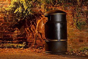 Urban Red fox (Vulpes vulpes) cub climbing into litter bin, West London, UK, June. Did you know? Red foxes first colonised British cities in the 1940s and now their greatest population densities are f...  -  Terry Whittaker / 2020VISION
