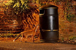 Urban Red fox (Vulpes vulpes) cub sniffing at litter bin, West London, UK, June  -  Terry Whittaker / 2020VISION