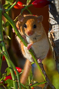 Hazel dormouse (Muscardinus avellanarius) climbing on rose hips, Schleswig-Holstein, Germany, - Kerstin Hinze