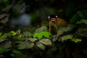 Wild Bolivian / Peruvian Squirrel Monkey (Saimiri boliviensis) in tree. Madidi National Park, Bolivia.  -  Roy Mangersnes