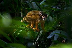 Wild Bolivian / Peruvian Squirrel Monkey (Saimiri boliviensis) female carrying young on her back. Madidi National Park, Bolivia.  -  Roy Mangersnes