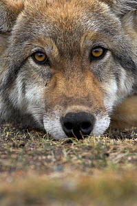 Eurasian / European / Forest Wolf (Canis lupus lupus) head portrait resting on ground. Mongolia, August. - Mark Carwardine