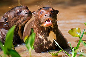 Two Giant Otters (Pteronura brasiliensis) in water. Endangered. Brazil, South America. - Mark Carwardine