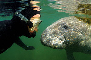 Florida Manatee (Trichechus manatus latirostris) face-to-face with a diver. This is a subspecies of West Indian Manatee. Crystal River, Florida, USA, January. - Mark Carwardine