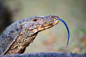 Water Monitor (Varanus salvator) tasting the air with its tongue. Borneo, Indonesia. - Mark Carwardine