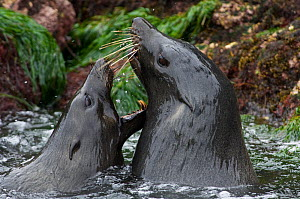 Guadalupe Fur Seals (Arctocephalus townsendi) play fighting in coastal waters. Threatened. San Benitos, Pacific side of Baja California, Mexico. - Mark Carwardine