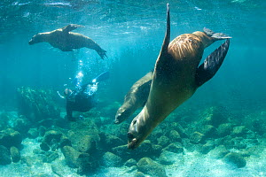 California Sea Lions (Zalophus californianus) playing underwater as a snorkeller looks on. Sea of Cortez, Baja California, Mexico. - Mark Carwardine