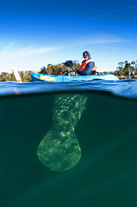 Florida Manatee (Trichechus manatus latirostris) tail beneath a person in a kayak. Vulnerable. Crystal River, Florida, USA. - Mark Carwardine