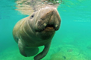 Florida Manatee (Trichechus manatus latirostris), a subspecies of West Indian Manatee, at the water surface. Vulnerable. Crystal River, Florida, USA, January.  -  Mark Carwardine