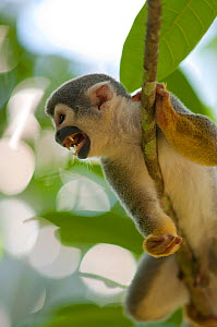 Common Squirrel Monkey (Saimiri sciureus ssp. macrodon) in tree, calling, Peru, captive  -  Mark Bowler