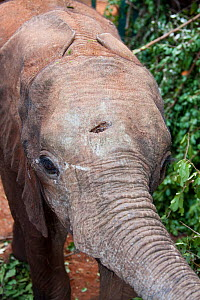 Orphaned African Elephant (Loxodonta africana) 'Murka' with spear wound to the head. David Sheldrick Wildlife Trust Nairobi Elephant Nursery, Kenya, July 2007.  -  Lisa Hoffner