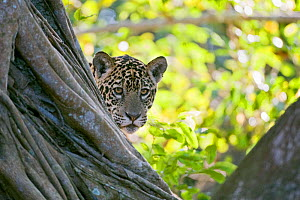 Jaguar (Panthera onca), one-year cub peering from behind tree, Cuiaba River, Pantanal, Brazil. near threatened species - Mark Carwardine