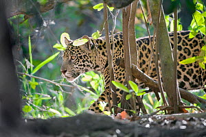 Jaguar (Panthera onca), one-year cub walking through vegetation, Cuiaba River, Pantanal, Brazil. near threatened species  -  Mark Carwardine
