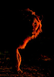 African lion (Panthera leo) young male backlit at sunrise, Etosha National Park, Namibia October  -  Tony Heald