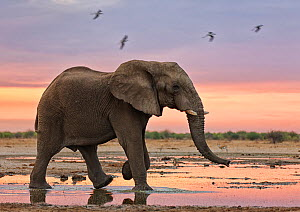African elephant (Loxodonta africana) at sunset by water, Etosha National Park, Namibia October  -  Tony Heald