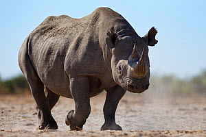 Black rhinoceros (Diceros bicornis) Etosha National Park, Namibia October - Tony Heald
