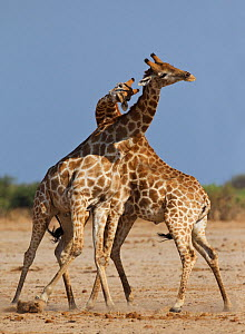 Giraffe (Giraffa cameloparalis) two individuals necking / fighting, Etosha National Park, Namibia October  -  Tony Heald