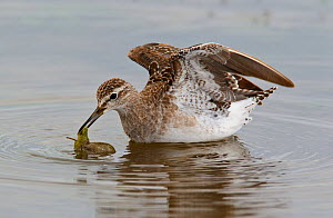 Wood sandpiper (Tringa glareola) leaf brought to the surface whilst feeding, Etosha National Park, Namibia October - Tony Heald
