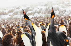 King Penguin (Aptenodytes patagonicus) parents calling and performing 'statue' display at colony. South Georgia Island, Southern Ocean, November. - Ole Jorgen Liodden